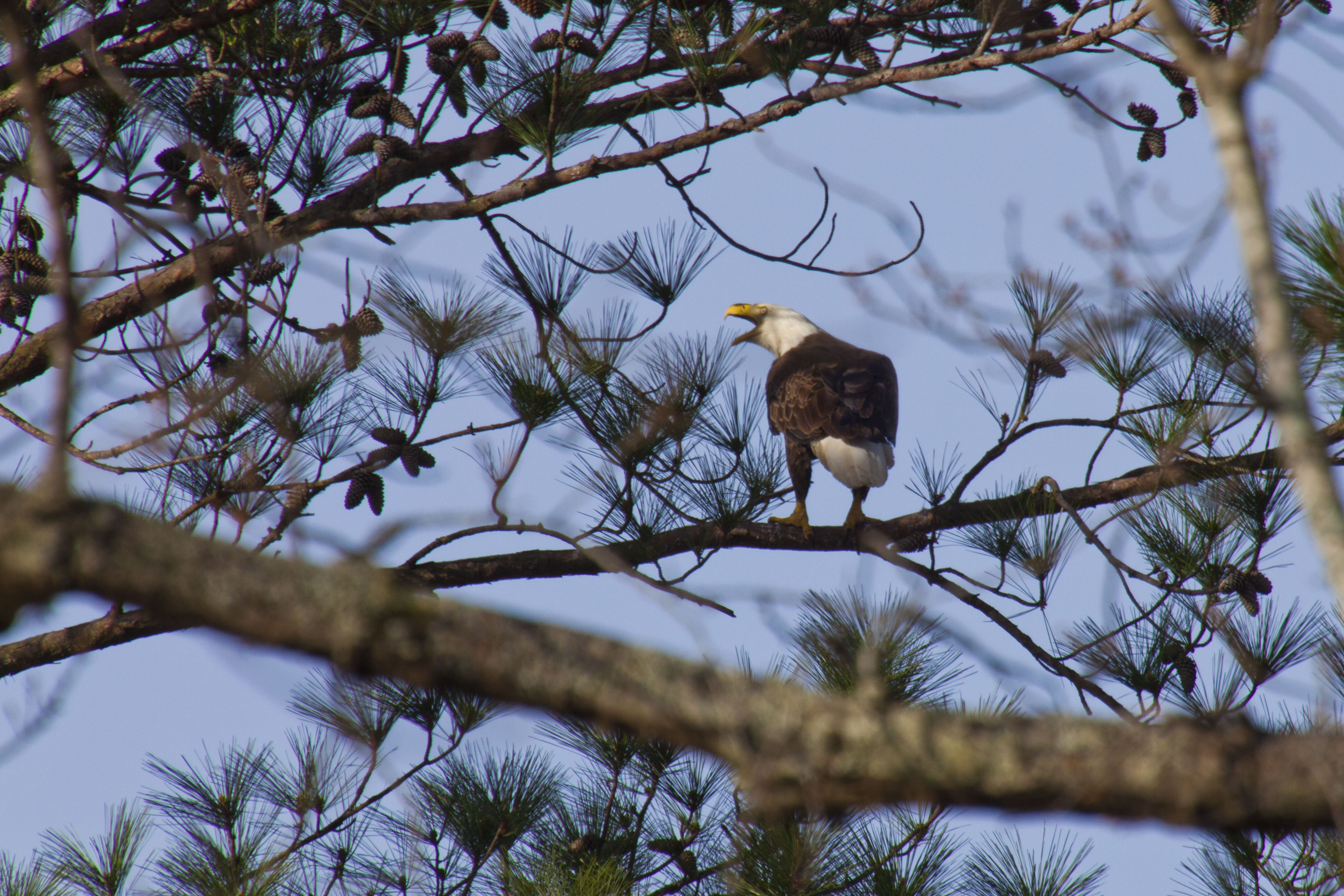 https://alabama-travel.s3.amazonaws.com/partners-uploads/photo/image/546511aefa74911fc1000017/bald_eagle_home_page.jpg