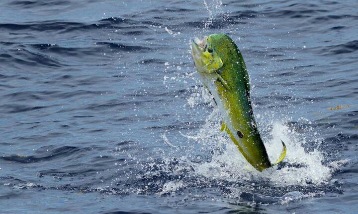 https://alabama-travel.s3.amazonaws.com/partners-uploads/photo/image/54efbd36f1db87a69100002d/gulf_of_mexico_mahi_mahi.jpg