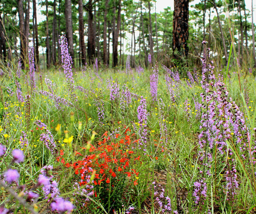 Slide_longleaf_wildflowers