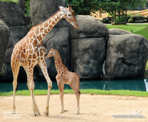 Slide_giraffe_calf_and_mom