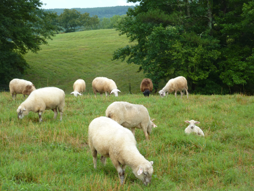 Slide_dsd_sheep_in_the_field