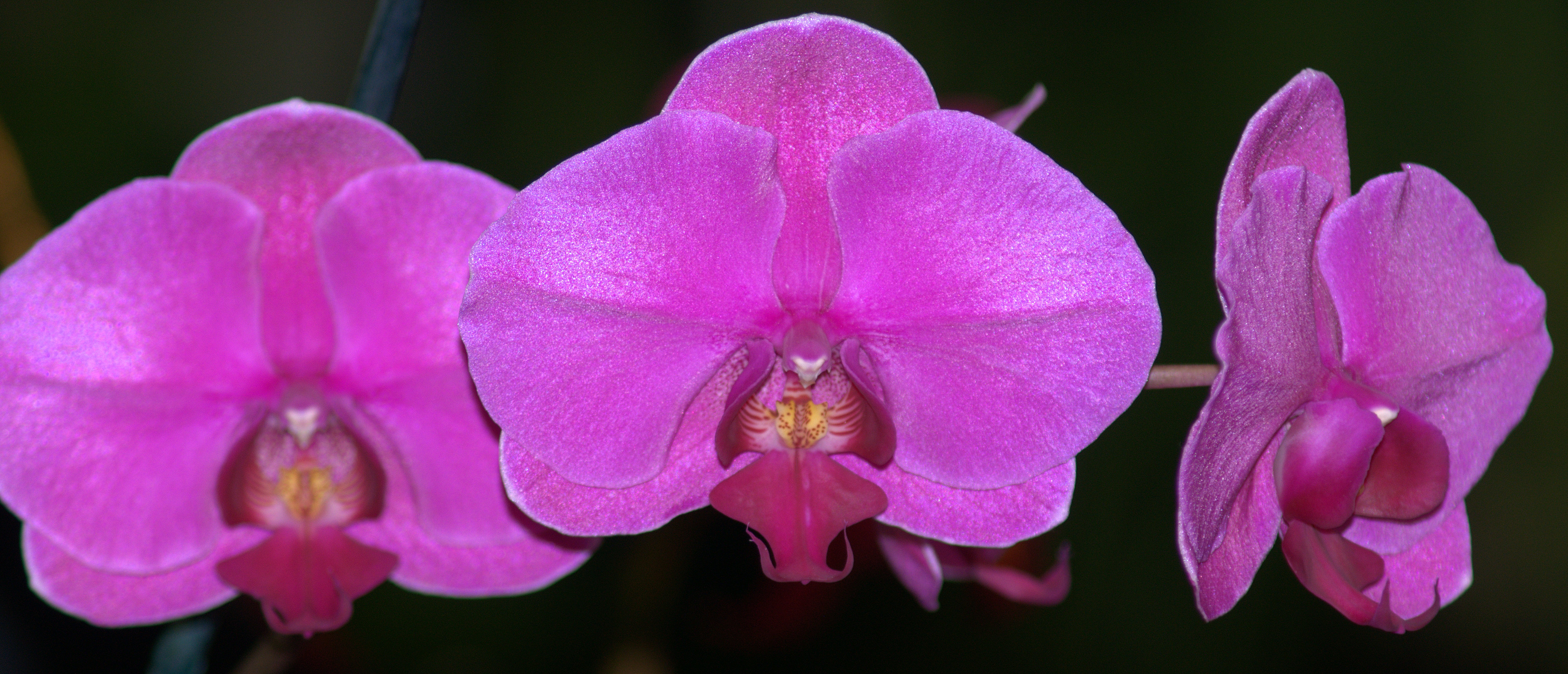 Mobile Area Orchid Society's 43rd Annual Orchid Show and Sale