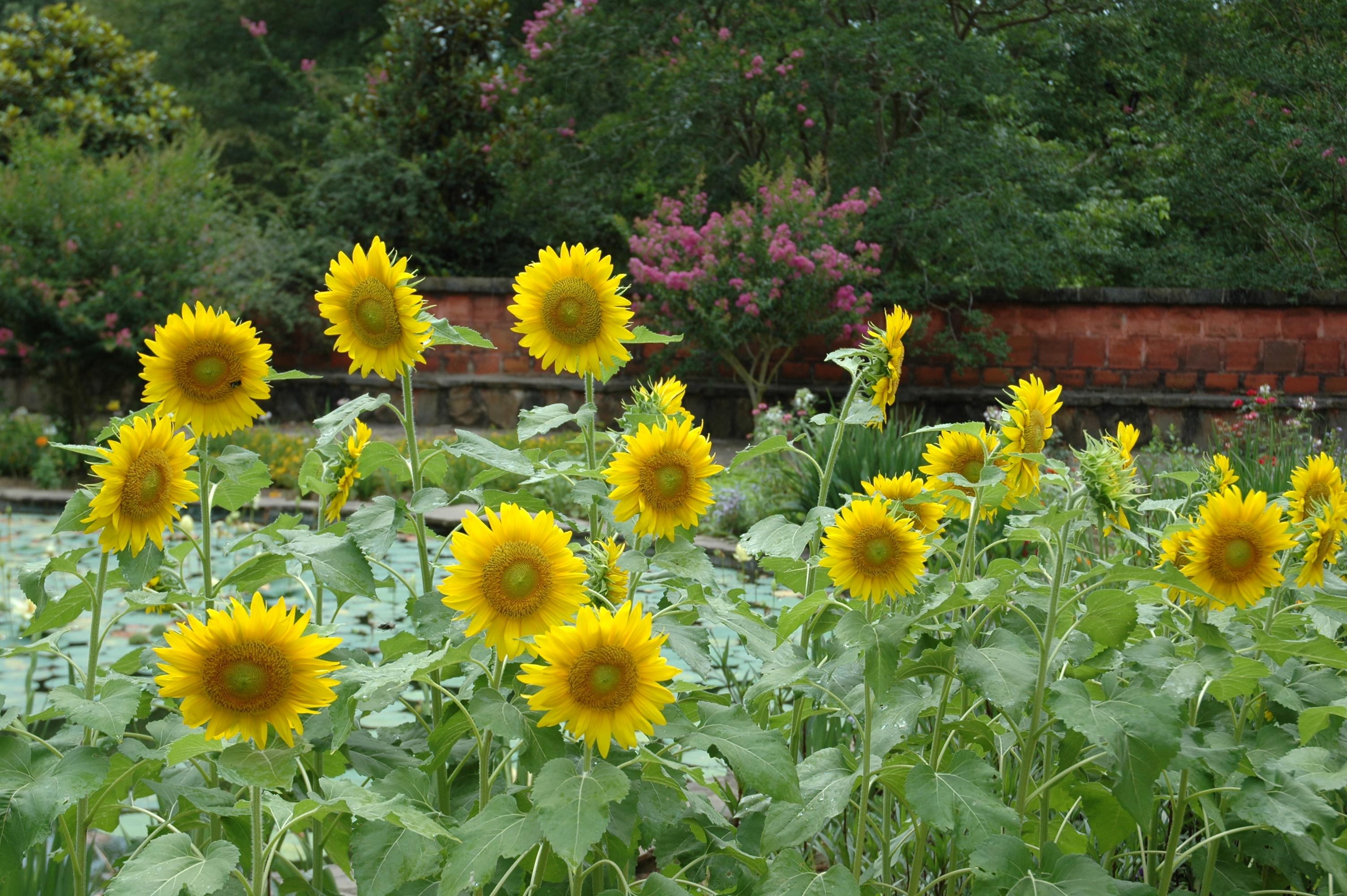 https://alabama-travel.s3.amazonaws.com/partners-uploads/photo/image/59497c8d7373907f23000041/sunflowers_2010.jpg