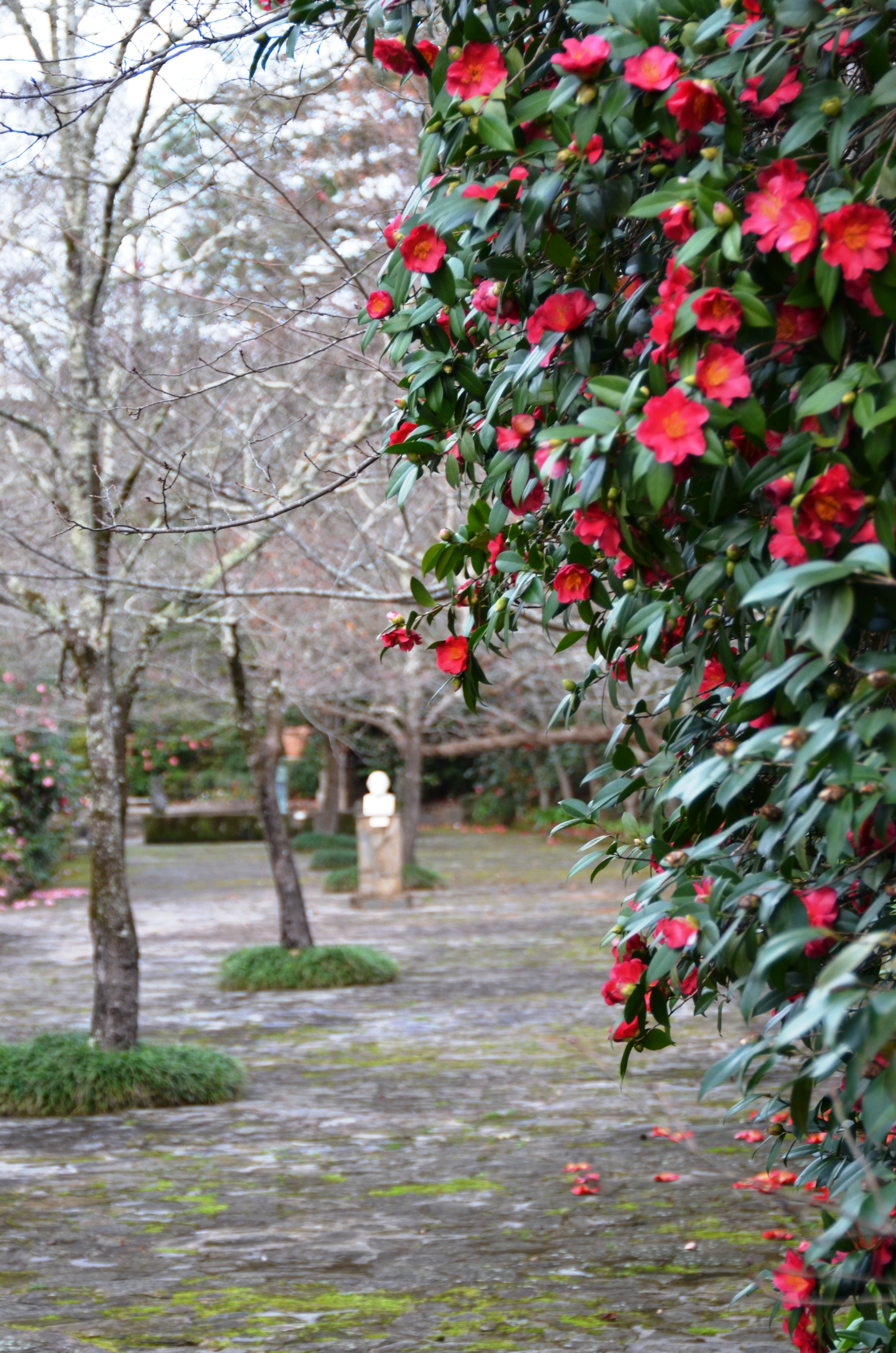 Camellia and Winter Blooming Azalea Show
