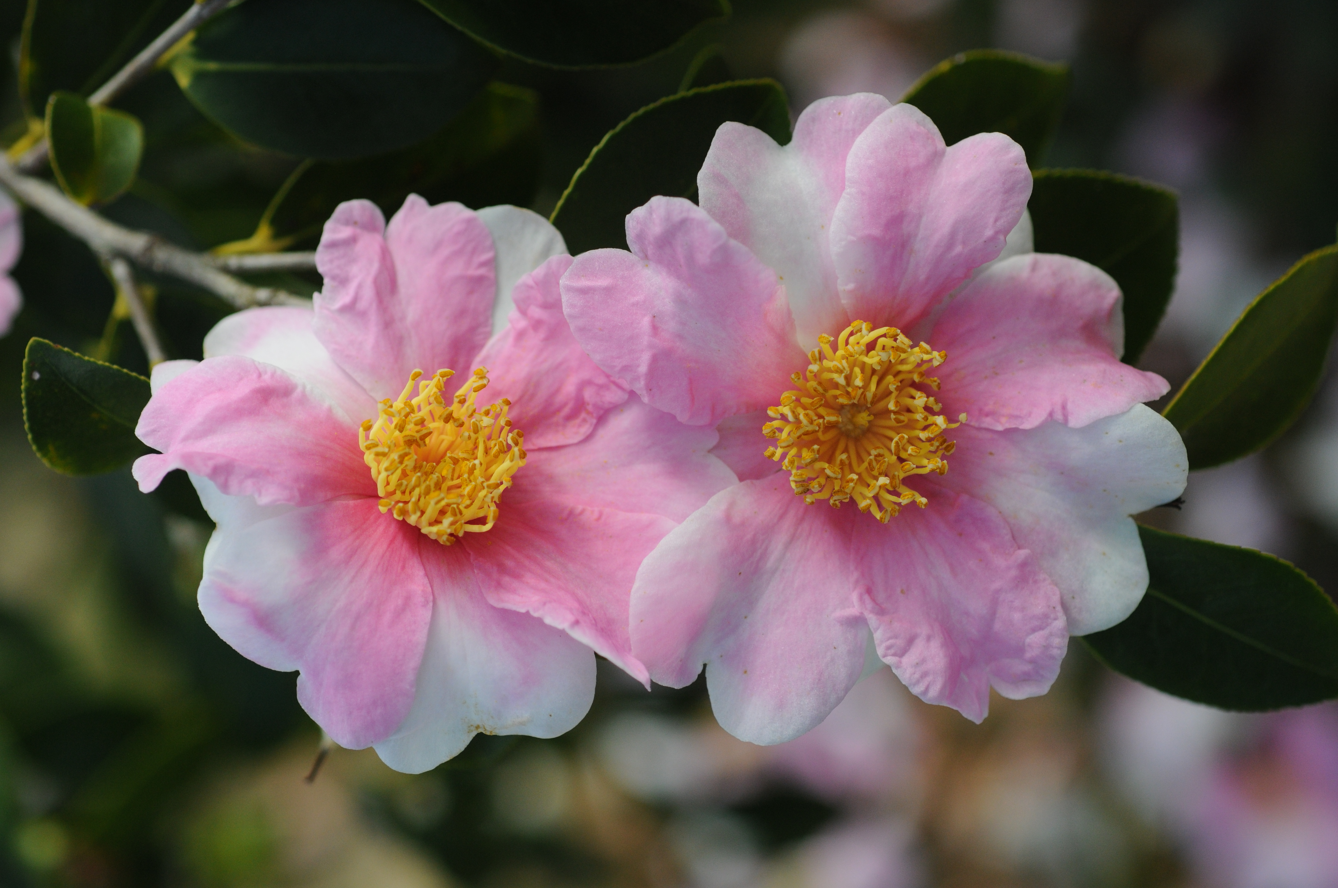 Winter Camellia and Cold Hardy Displays at Bellingrath Gardens and Home