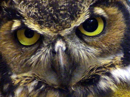 https://alabama-travel.s3.amazonaws.com/partners-uploads/photo/image/59b162809a8098de43000017/great_horned_owl.jpg