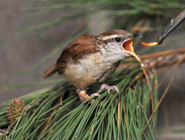Alabama Wildlife Center's Baby Bird Season