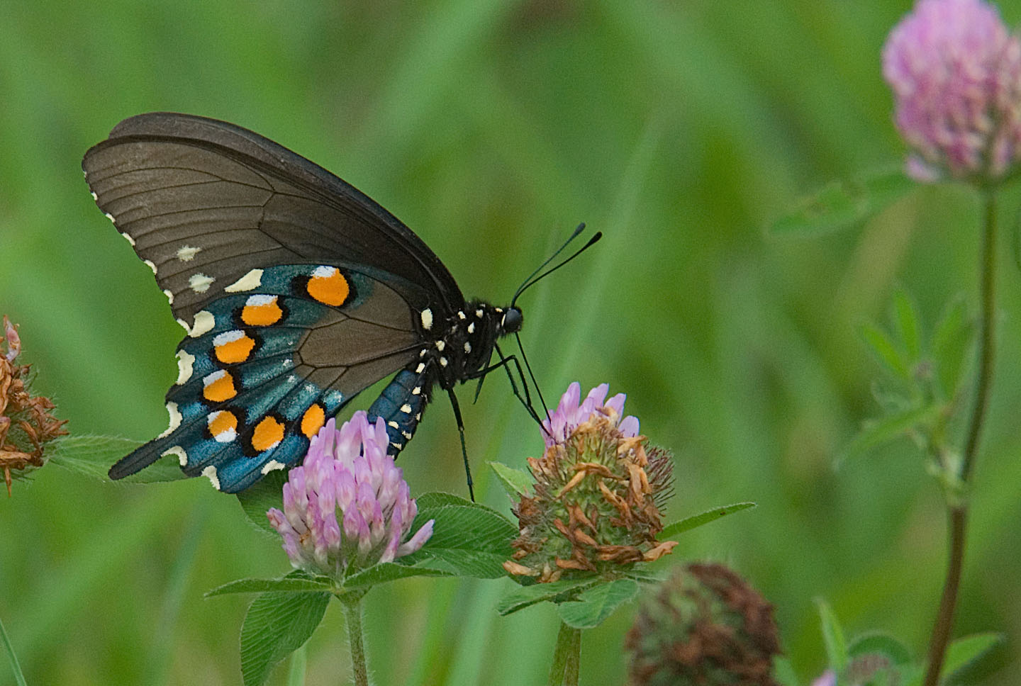 https://alabama-travel.s3.amazonaws.com/partners-uploads/photo/image/5b608dc8907e3d944800001e/pipevine_swallowtail___jerry_green_photo_for_newsletter.jpg