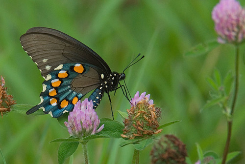 Slide_pipevine_swallowtail___jerry_green_photo_for_newsletter