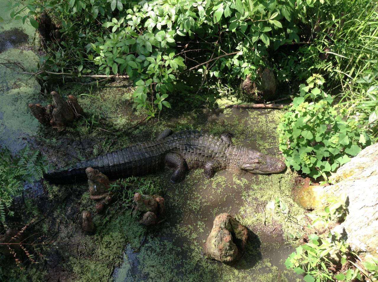 https://alabama-travel.s3.amazonaws.com/partners-uploads/photo/image/5bae903dee7dea2bd700009c/alligator_alley_1._photo_courtesy_alabamacoastal_birdfest.jpg