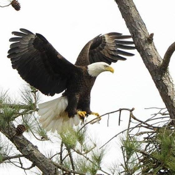 https://alabama-travel.s3.amazonaws.com/partners-uploads/photo/image/5fcfdba93df49a0008383851/eagle.jpg