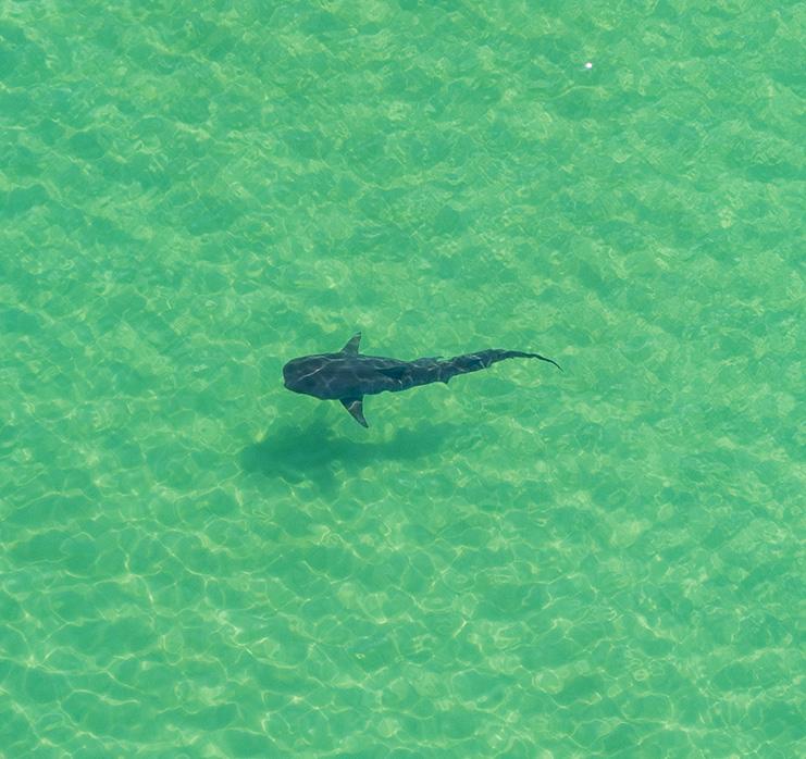 https://alabama-travel.s3.amazonaws.com/partners-uploads/photo/image/60f46e6b9190310008affc11/Shark.jpeg