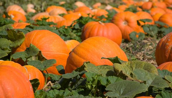 Pumpkin_patch1